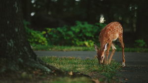 Roe Deer Eating Grass 5K Wallpaper