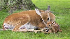 Superb Photo of Mother Deer Love to His Beautiful Child