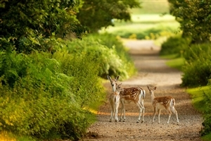 Three Deer in Jungle HD Wallpaper