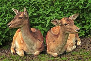 Two Deer Sitting Together