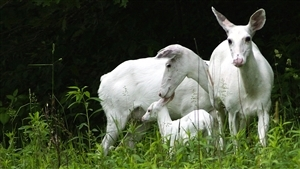 White Animal Deer Family in Forest