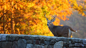 Whitetail Deer 5K Wallpaper