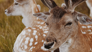 Wildlife Animal Deer