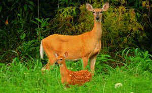 Wonderful Pic of Mother Deer with Cute Child