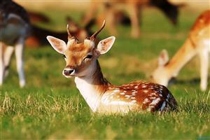 Young Deer in Grass Image