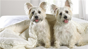 2 Cutest Yorkshire Terrier Dog