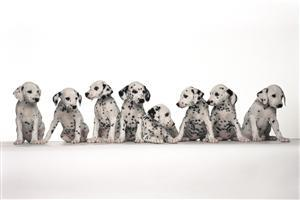 8 Black and White Puppy in Row