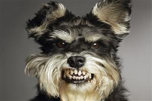 Angry Black and White Hairy Doggy