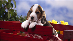 Beagle Dog Puppy Pic