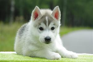 Beautiful Cute White Puppy Wallpaper