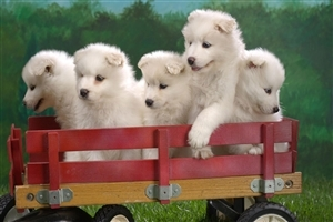 Cute Five Puppies on Toy Trolly Pets Animal Wallpapers