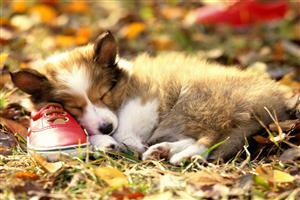 Cute Puppy Sleeping on shoes