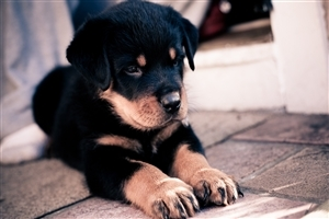 Cute Rottweiler Dog Child Wallpaper