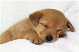 Cute Sleeping Puppy in Bad