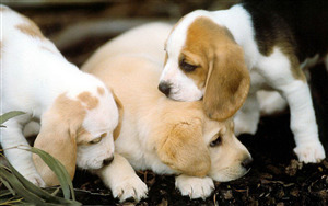 Cutest Beagle Dog Puppies Photo