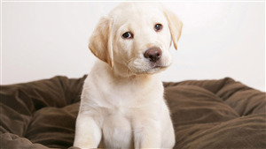 Cutest Labrador Retriever Puppy