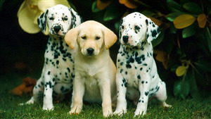 Dalmatian Dog Puppy with Indian Dog