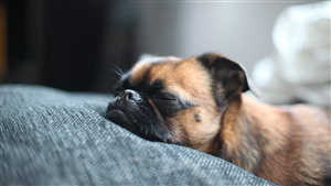 Dog Pug Sleeping Photo