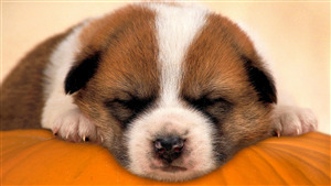 Dog Puppy Sleeping Cute Face Image