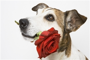 Dog with Rose Image