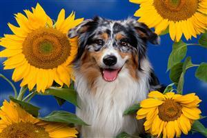Doggy Between Sunflowers