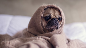 Funny Dog Puppy Wrapped in Blanket 4K Wallpaper