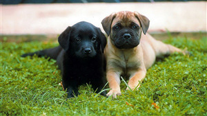 Pug Puppy with Black Dog in Grass