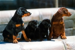 Two Dogs and Two Doggy Seatting in Line HD Pets Animal Wallpapers