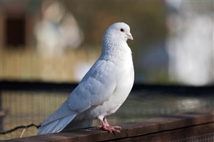 Beautiful White Dove