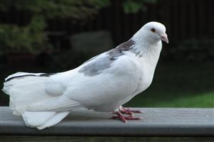 Beautiful White Pigeons Standing