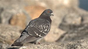 Bird Pigeon Amazing Wallpaper