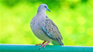 Colorful Bird Dove