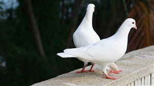 Cute White Pigeon