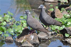 Domestic Pigeons Wallpaper