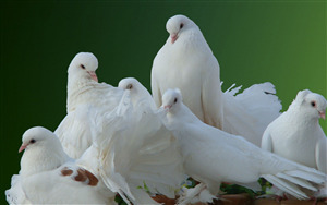 Group of White Bird Dove