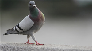 Indian Bird Dove Amazing Photo Pose