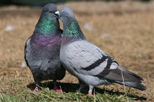 Two Beautiful Dove Kissing