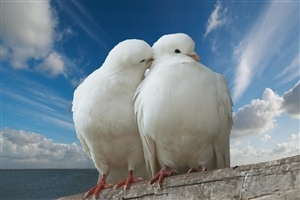 Two Beautiful White Dove Doing Romance Love Wallpaper