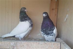Two Bird Doves Pics