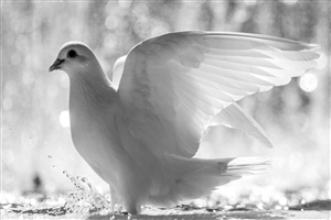 White Dove Photo Gallery