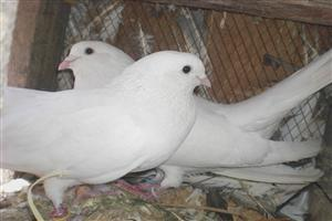 White Pigeons Sitting Together