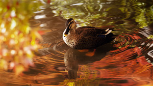 Amazing Wallpaper of Duck in Lake