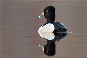 Black and White Duck Photo