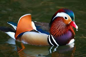 Colorful Duck Swimming Pics