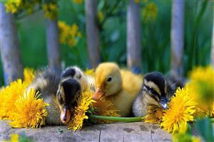 Cute Babies Duck Wallpaper