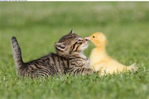 Cute Duck Playing With Cat in Garden