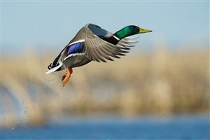 Mallard Duck Flying Wallpaper