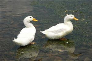 Two White baby Duck