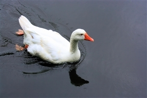 White Duck Swimming in the Water Wallpaper Download
