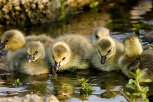 bird Baby Ducks Wallpapers